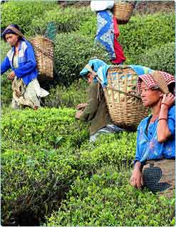 Tea Gardens, North East India Tourism