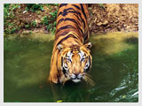 Tiger at Ranthambhore